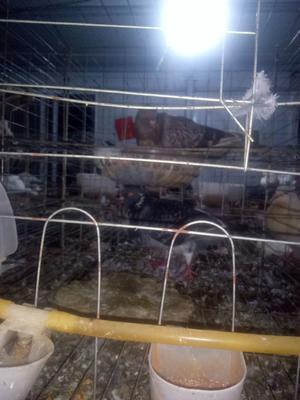 安徽省滁州市明光市肉鸽 400-500克