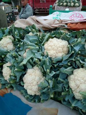 河北省邯郸市丛台区白花菜花 紧密 1~2斤 乳白色