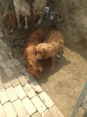 甘肃省兰州市七里河区金毛犬