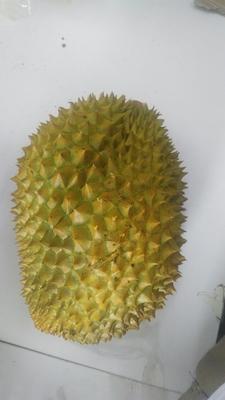 云南省西双版纳傣族自治州景洪市金枕头榴莲 80 - 90%以上 3 - 4公斤