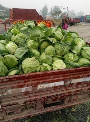 河北省承德市围场满族蒙古族自治县希望甘蓝 2.0~2.5斤