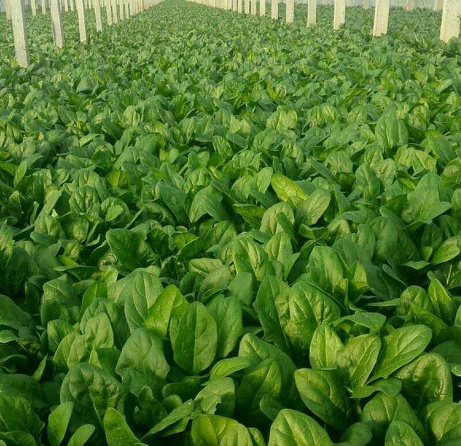 大叶菠菜种子图片