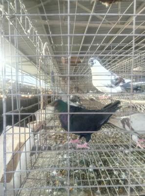 贵州省黔西南布依族苗族自治州兴义市土鸽子 500-600克