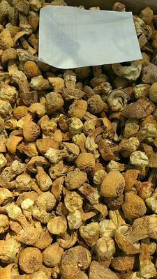广东省梅州市梅江区香格里拉松茸 人工种植 5cm以下 半开伞 干货