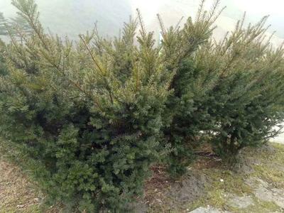 四川省乐山市马边彝族自治县曼地亚红豆杉 0.5~1米