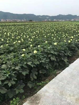 广东省惠州市惠东县黄秋葵 12 - 15cm