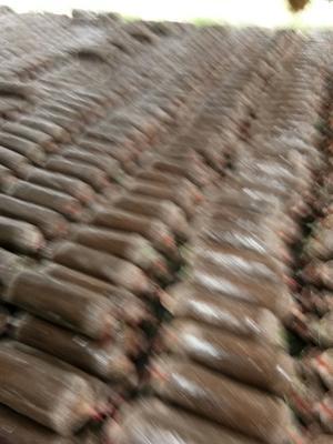 江苏省徐州市新沂市灰平菇 无异色斑点 6cm~8cm ≤5% 无杂质 鲜货