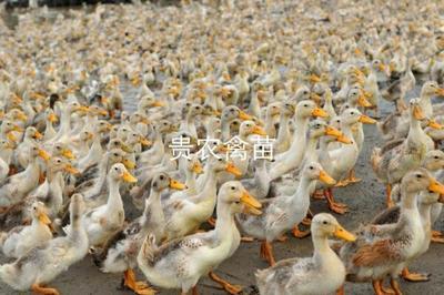 贵州省贵阳市观山湖区蛋鸭苗