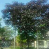 山东省潍坊市寿光市千头椿树