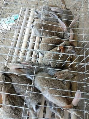 福建省南平市建瓯市杂交野兔 3-5斤