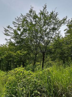 江苏省南京市浦口区丛生朴树