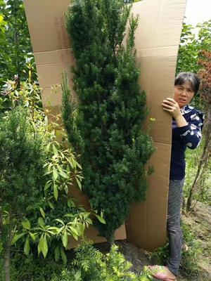 四川省眉山市仁寿县曼地亚红豆杉 0.5~1米