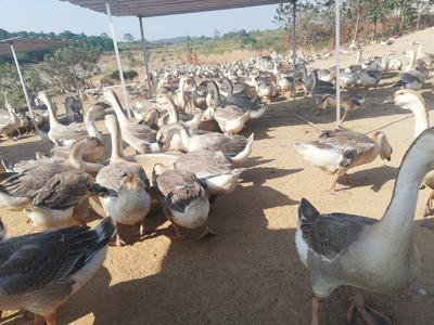 江西省宜春市丰城市狮头鹅 统货 半圈养半散养 12斤以上