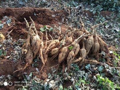 广西壮族自治区桂林市平乐县粉葛 2.5-3.0斤