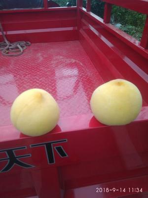山东省临沂市沂水县黄金蜜4号 60mm以上 4两以上