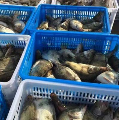 广东省梅州市兴宁市翘嘴鳜 人工养殖 0.8斤-1.4斤