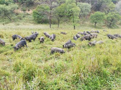 陕西省延安市富县生态野猪 160斤以上 统货