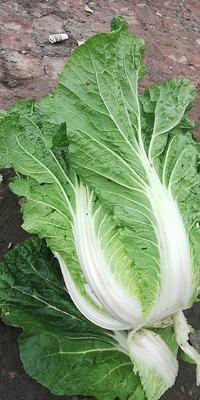 吉林省长春市南关区黄心大白菜 3~6斤 二毛菜