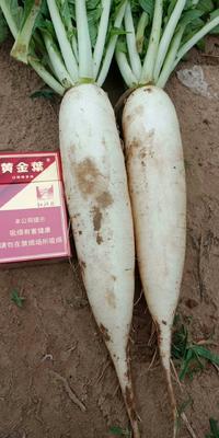 河南省安阳市内黄县白萝卜 1.5~2斤