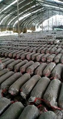 江苏省徐州市新沂市平菇菌种 无异色斑点 8cm以上 ≤10% 无杂质 干货