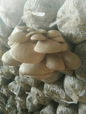 河北省唐山市乐亭县鲜平菇 无异色斑点 6cm~8cm ≤5% 无杂质 鲜货
