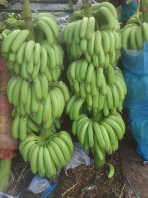广东省湛江市遂溪县威廉斯香蕉 七成熟 40 - 50斤