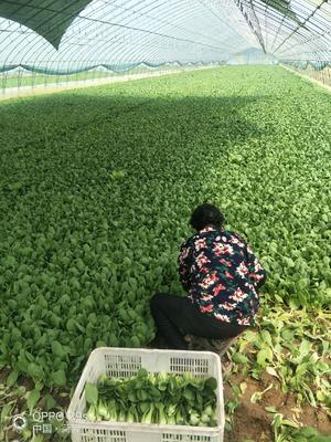 山东省菏泽市曹县金品28青梗菜 1~2两
