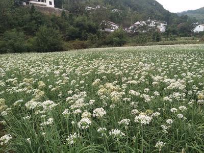 湖北省十堰市郧阳区平韭6号韭菜 头茬 20~30cm