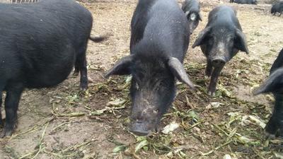 山西省运城市绛县黑香猪 60斤以上