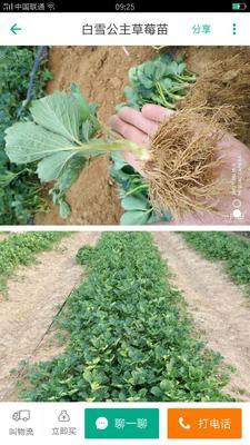 山东省青岛市平度市甜宝草莓苗 地栽苗 10~20公分