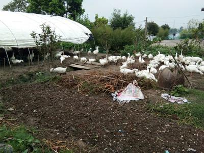 安徽省宣城市宣州区大三花鹅 统货 半圈养半散养 8-10斤