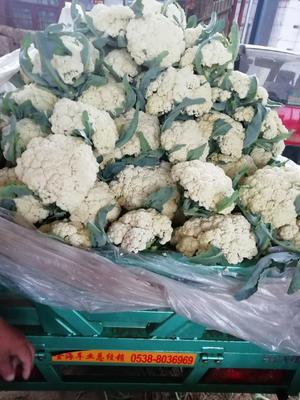 山东省泰安市岱岳区大叶香菜 25~30cm