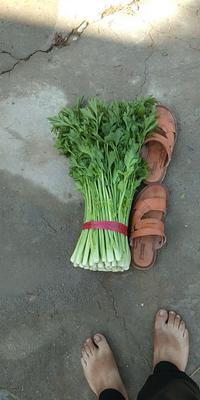 陕西省西安市阎良区西芹 55~60cm 露天种植 0.5斤以下
