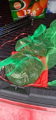 江苏省泰州市姜堰区兴化螃蟹 2.5-3.0两 母蟹
