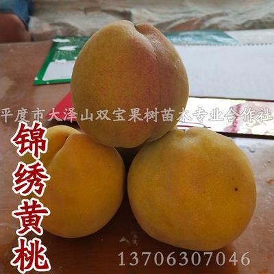 黄桃树苗 1~1.5米
