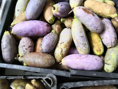 河南省河南省济源市紫色一号八月瓜 种植 60g以下