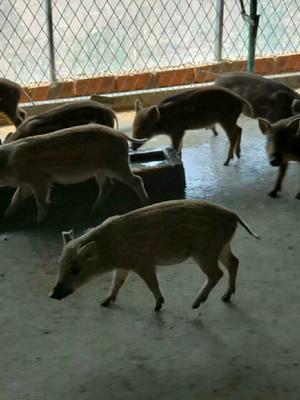 江苏省连云港市连云区特种野猪 20-30斤 母