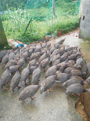 浙江省温州市泰顺县灰色珍珠鸡 2-4斤