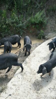 四川省成都市金牛区藏香猪 60斤以上