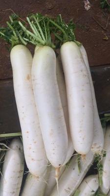 贵州省毕节市威宁彝族回族苗族自治县白萝卜 1~1.5斤