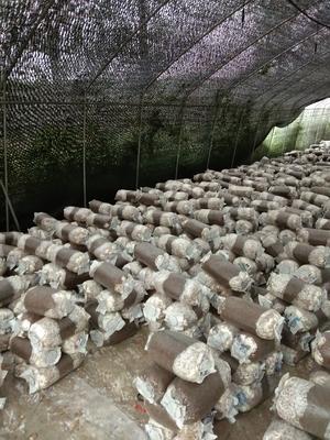 贵州省遵义市红花岗区平菇菌种 无异色斑点 6cm~8cm ≤5% 无杂质 鲜货