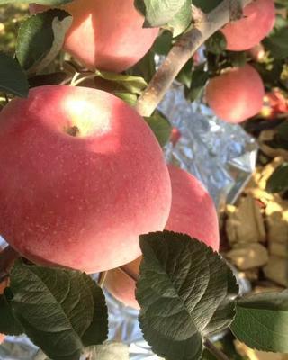 这是一张关于沂源红苹果 纸袋 条红 70mm以上的产品图片