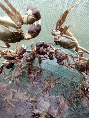 安徽省马鞍山市当涂县石臼湖大闸蟹 2.0两以下 母蟹