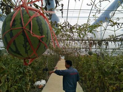 贵州省安顺市西秀区麒麟西瓜 有籽 2茬以上 9成熟 1斤打底