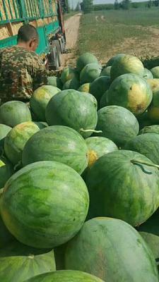 内蒙古自治区通辽市奈曼旗金城5号西瓜 有籽 1茬 9成熟 10斤打底