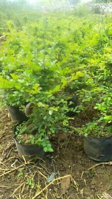广西壮族自治区桂林市平乐县造型榆树