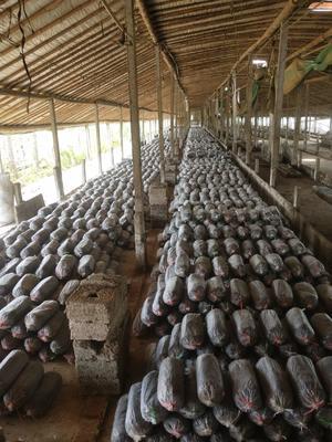 山东省日照市莒县平菇菌种 无异色斑点 8cm以上 ≤5% 无杂质 鲜货