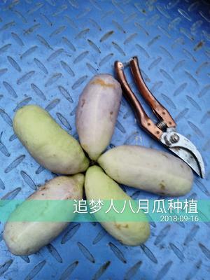 江西省赣州市安远县紫色一号八月瓜 种植 150g以上