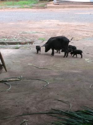 湖南省衡阳市常宁市藏香猪 40-60斤