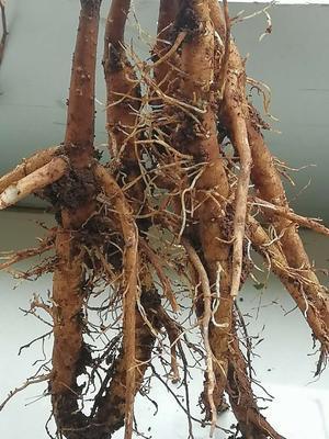 云南省昆明市官渡区油用牡丹种苗 2~4cm 4cm以下 0.5米以下
